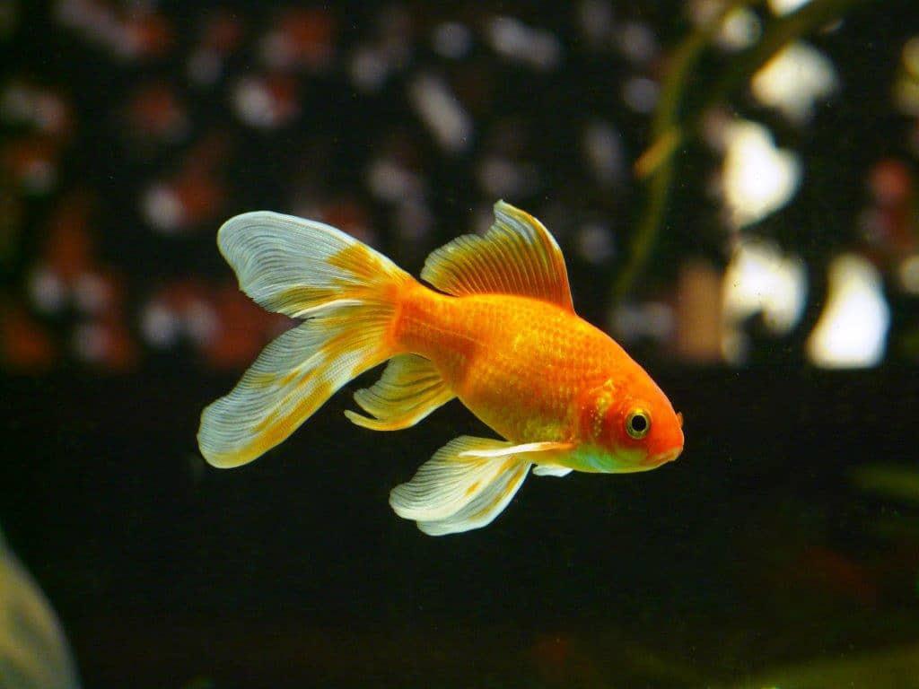 Aufmerksamkeit sinkt unter Goldfisch-Niveau - copyright: pixabay.com