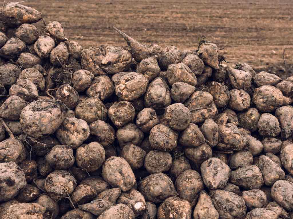 Allulose wird aus Zuckerrüben hergestellt. copyright: Envato / stevanovicigor